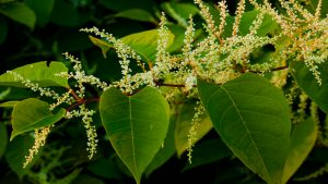 giant knotweed- full spectrum herbal extract