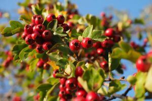 hawthorn- herbal remedies