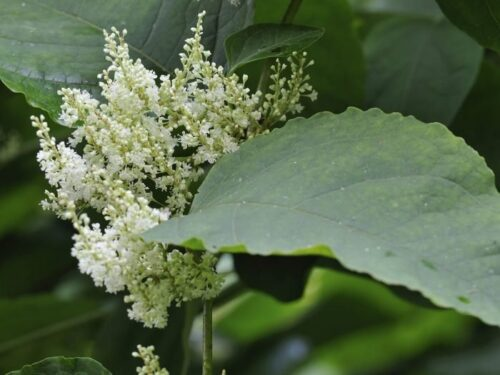 Giant Knotweed- Natural Herbal Remedies