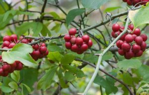 smilax-glabra - natural remedies