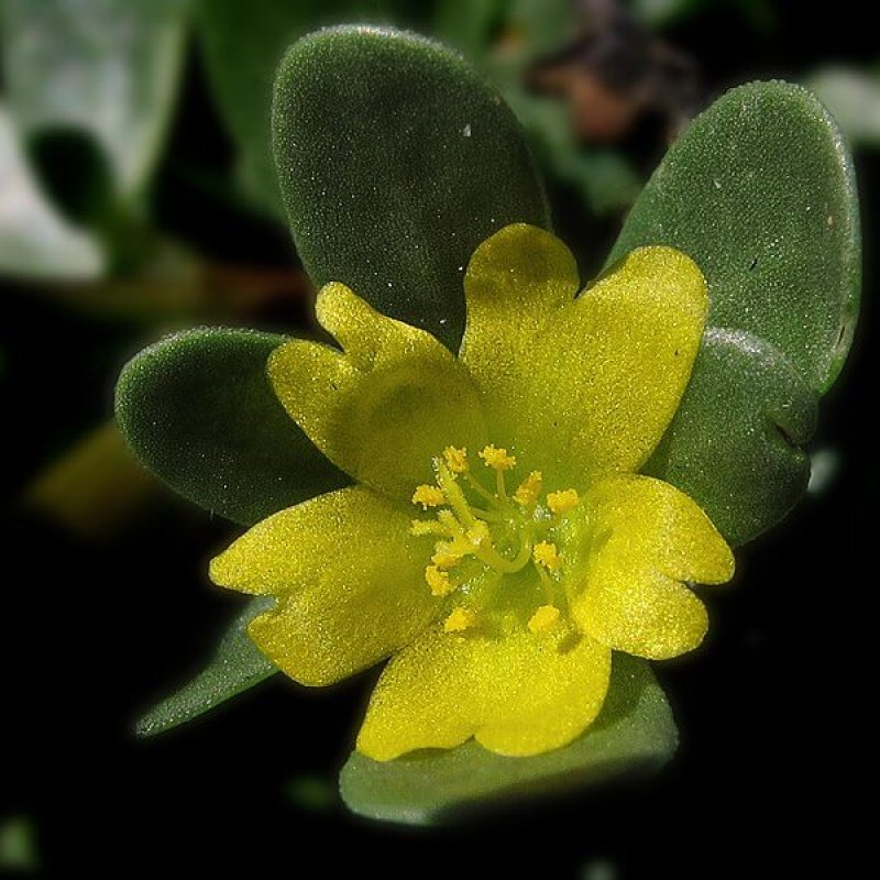 portulaca- herbal extracts
